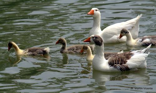 Resultado de imagen para familia de patos