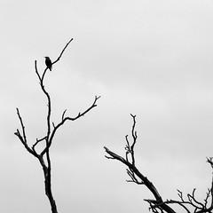 * (l o r n a) Tags: bw tree bird solitude silhouete minimal