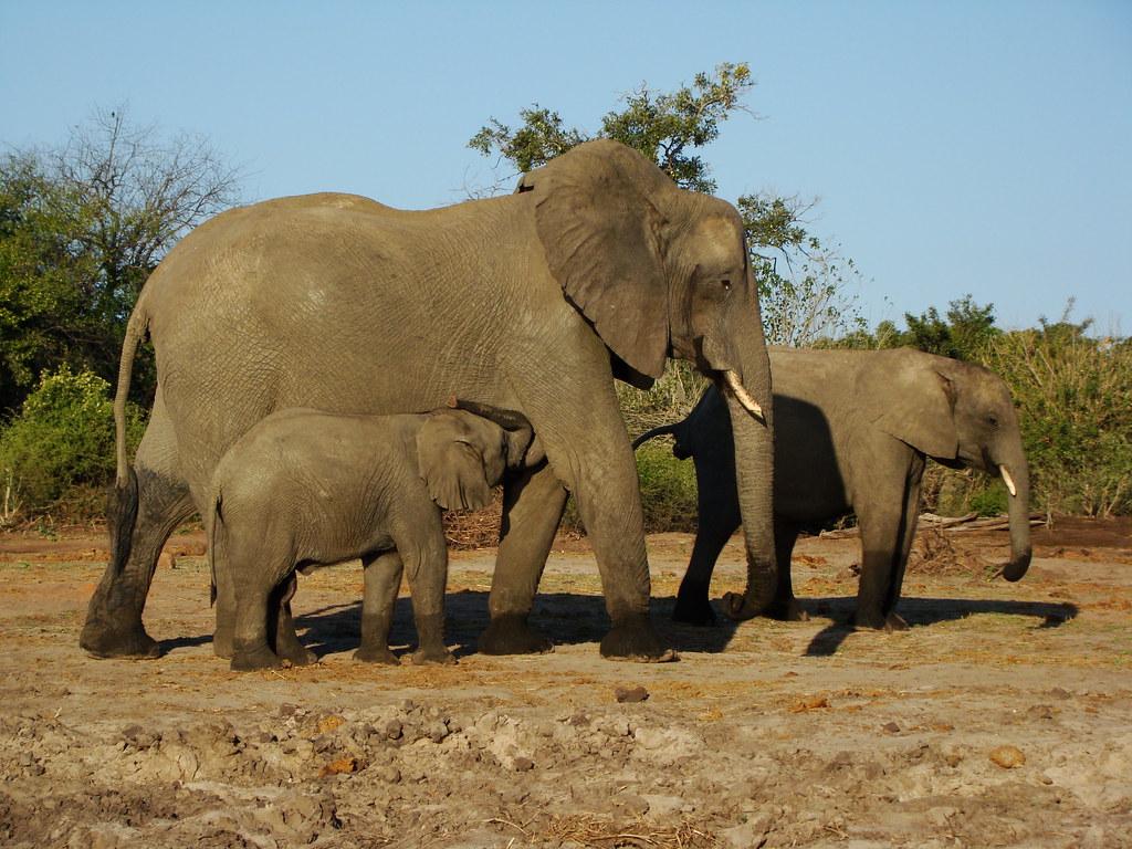 DSC09344 Nursing elephant