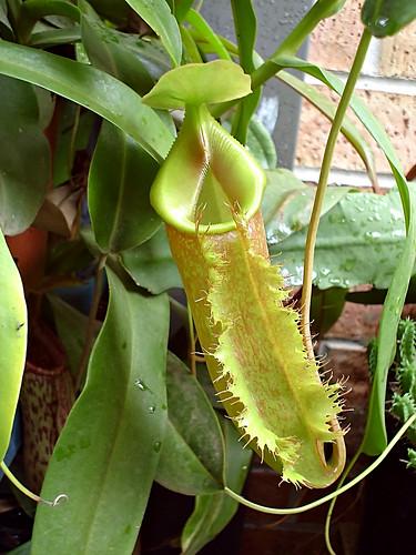 N. (spathulata x aristolochiodes) x (lowii x ventricosa)