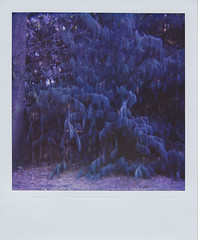 The eden project (My name's axel) Tags: color tree film monochrome analog polaroid purple spooky instant eden shrub polaroid600 apparition sask purplish domesticated artphotography 636 theedenproject natureculture indreams natureversusculture closeup636 natureasobject