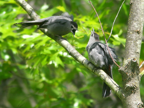 Gray Catbirds displaying 2-20100516
