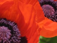 Poppies (David Milley) Tags: red flower philadelphia fleur closeup canon garden purple bokeh pennsylvania flor powershot poppy  blume fiore bloem  bartramsgarden   bartrams flowerscolors milley omot davesfaves davidmilley