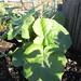 tussilago farfara /klein hoefblad