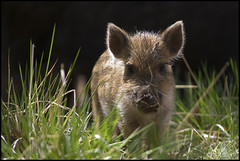 Wild Boar, Forest of Dean (Ben Locke (Ben909)) Tags: wild nature forest wildlife dean gloucestershire boar forestofdean wildboar susscrofa