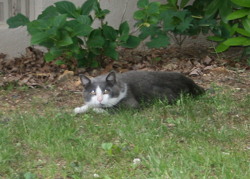 A large grey and white tomcat (you can tell by the enormous jowls) lies on the ground but is tensed to flee as he stares at the camera.  We'll just pretend this picture is not blurry.