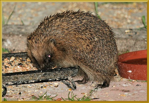 Hungry Juvenile Hedgehog
