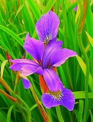 Blue Iris (GVG Imaging) Tags: flowers macro spring birmingham fz30 pypehayespark coth5 hennysgardens