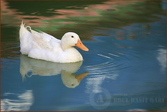 ((       duck   )) (abdulbasitgari) Tags: