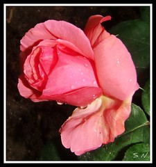Pink Roses in Myth and Legend