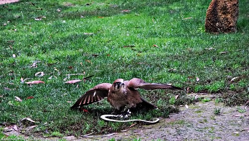 Hawk at work!