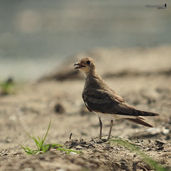 Oriental Pratincole (Glareola maldivarum) (Sir Mart Outdoorgraphy) Tags: birds magazine education nikon photographer bokeh outdoor birding best malaysia penang indah birdwatching birder butterworth birdisland byram unik nikonian d90 migratorybirds bairam menarik nikonuser nibongtebal jurugambar penangflickr sigma150500 pulauburung sirmart outdoorgraphy penangflickrgroup pulauburong orientalpratincoleglareolamaldivarum