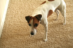 Seamus Eggs Me On (marylea) Tags: dog jrt handsome seamus terrier jackrussell 2009 parsonrussell sep8