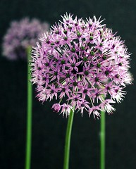 June 6/10 Alliums
