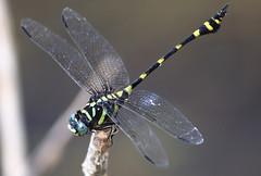 Tiger Dragonfly (Thai pix Wildlife photography,,) Tags: macro colors animals closeup thailand asia wildlife insects kanchanaburi totallythailand thaipix