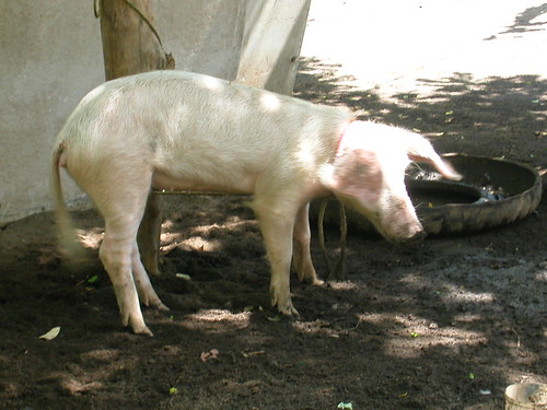 June 5 2010 pig on island