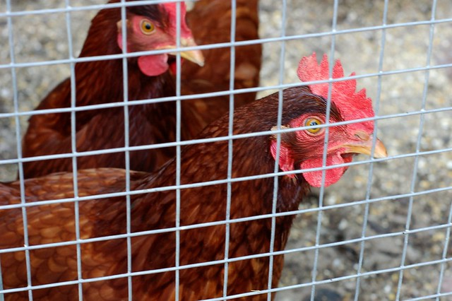 Rhode Island Reds in their coop by Eve Fox, Garden of Eating blog