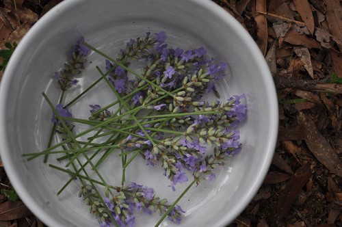 fresh picked lavender blooms