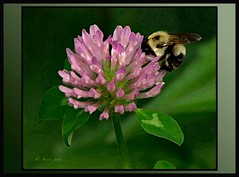DIVING IN HEAD FIRST, II (susies.genii) Tags: flower macro nature garden bee clover posterized paintingeffect lavenderflower