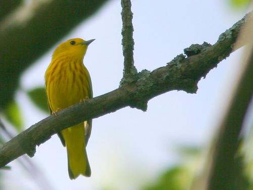Yellow Warbler 3-20100610