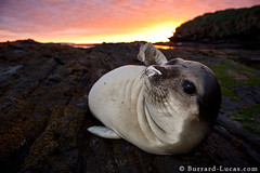 Elephant Seal Pup (Burrard-Lucas Wildlife Photography) Tags: sunset baby elephant coast young seal pup falklands falklandislands sealionisland viaflickrqcom