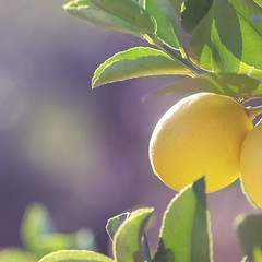 { zesty } (jewelflyt) Tags: morning light yellow fruit square lemon purple bokeh cropped citrus processed hpps perfectpurplesaturday