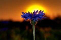 sonnenuntergang hinter blauer kornblume