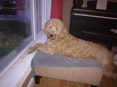 Jack crosses his hands while watching out the window (eastick_east) Tags: jack goldendoodle