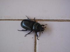 Suicidal Beetle, Varkala