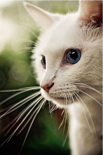 cute rescued white kitten