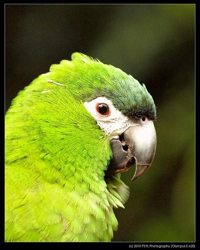 Hahn's Dwarf Macaw (Diopsittaca nobilis)