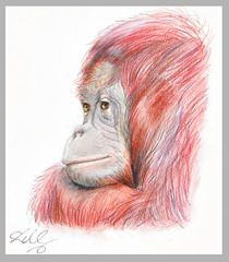 The Pensive Orangutan (Lauraamynic) Tags: pencil sketch thoughtful borneo orangutan ape