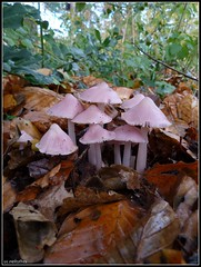 Heksenschermpje (mefeather) Tags: autumn trees nature leaves mushrooms bomen herfst nederland thenetherlands natuur fungi noordholland schoorl paddenstoelen heiloo bladeren mycenarosea rosybonnet heksenschermpje