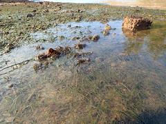 (Ravenblack7575) Tags: coast shoresurvey intertidal seagrass eastcoastpark shore