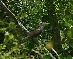 Yellow-billed Cuckoo, Coccyzus americanus (tripp.davenport) Tags: coccyzusamericanus yellowbilledcuckoo birds cooksslough cookssloughnaturepatrk uvaldecounty tx