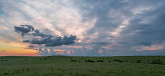 Angus Cattle Pasture (thefisch1) Tags: angus cattle sunrise horizon cloud sky pasture