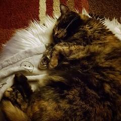 goodnight Bonsai (noisy__nisroc) Tags: bonsai cat pet tortoiseshell mobil sleepyhead relaxingcat
