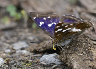 Purple Emperor DSC_2898