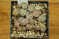 1er juillet 2017 - Lithops hallii ex-C52, 212 jours (Mafate79) Tags: 2017 lithopshalliiexc52 aizoaceae aizoacées aizoacée mesemb mesembryanthemaceae mesembryanthemacées mesembryanthemacée plante semis s16079