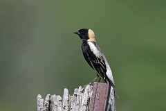 Bobolink (Alan Gutsell) Tags: bobolink bobo link birds bird canada wildlife nature alan ontario grass fields seeds migration