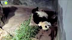 2017_07-06c (gkoo19681) Tags: beibei chubbycubby fuzzywuzzy feetsies toofers bigbelly beingadorable toocute naptime dangling ccncby nationalzoo