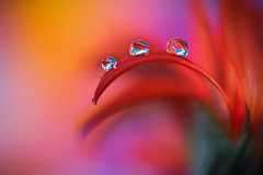 Red and purple (Marilena Fattore) Tags: macro canon tamron 90mm colors water waterdrop drop drops nature closeup focus petals floralart reflection bokeh droplet light red purple orange flores delicate softness daisy gerbera flower garden flora macrophotography onlyflowers