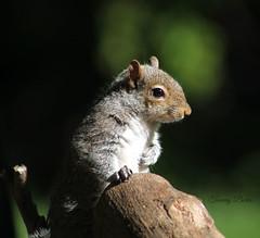 Deep Thinker (Tammy Borko Photography) Tags: squirrel mammal animal animalphotography furryanimal furry treerat manassasvirginia nature wildlife wild bokeh tammyborkophotography tammyborko borko northeasternusa northernusa