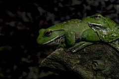 Sticks - ぺったり (hixar) Tags: japn uenozoo tokyo 日本 上野動物園 東京 flog pair green 両生類 amphibians eye 目 瞳 animal 動物