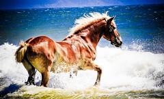 [フリー画像] [動物写真] [哺乳類] [馬/ウマ] [海の風景]       [フリー素材]