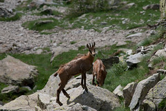 Chamois in Mercantour National Park (Gone_Shooting) Tags: mountain france nature animal fauna montagne canon wildlife fr mercantour chamois faune 70300 canon70300 cougourde canonef70300