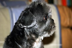 profilo di shine (Flora Torrisi) Tags: cane shine shitzu animale floratorrisi