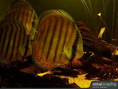 Symphysodon aequifasciatus - red alenquer (Cinthia Emerich) Tags: school southamerica blackwater discus freshwater sekai cardume cichlidae symphysodon wilddiscus symphysodonaequifasciatus sonydsch9 sekaiscaping acaradisco symphysodonaequifasciatusredalenquer