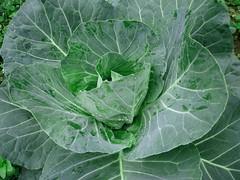深藍高麗菜