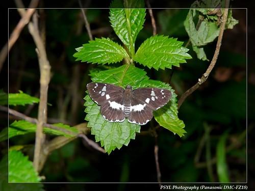Athyma cama zoroastres - 台灣單帶蛺蝶